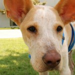 Bigsby - Basenji / Red Heeler [Mix]