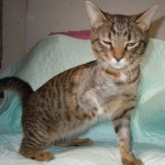 Festus - Domestic Short Hair / Tabby