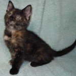 Luna - Tortoiseshell / Domestic Short Hair