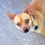 Dusty - Chihuahua / Miniature Pinscher [Mix]