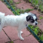 Lacy Lulu - Shih Tzu / Terrier [Mix]