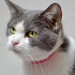 Tess - Domestic Short Hair