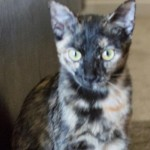 Kinsey - Domestic Short Hair