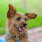 Lexi - Yorkshire Terrier Yorkie
