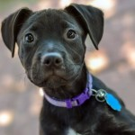 Piper - Labrador Retriever [Mix]