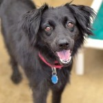 Molly - Border Collie [Mix]