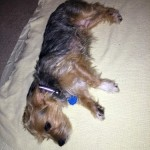 Penny - Yorkshire Terrier Yorkie [Mix]