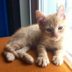 Hemera - Domestic Short Hair