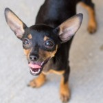 Jay - Miniature Pinscher