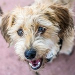 Macy - Dachshund / Lakeland Terrier [Mix]