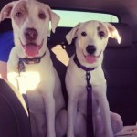 Cooper And Kea - Pointer / Labrador Retriever