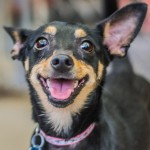 Jasmine - Miniature Pinscher / Chihuahua [Mix]
