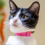 Candy - Domestic Short Hair