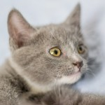 Chrissa - Domestic Short Hair