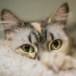 Trista - Domestic Short Hair
