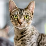 Carol - Domestic Short Hair