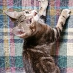 Grayson - Domestic Short Hair / Tabby