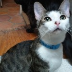 Grandy - Domestic Short Hair / Tabby