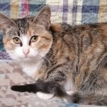 Tonya - Domestic Short Hair / Tabby