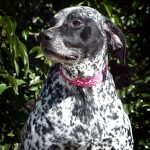 Stella - German Shorthaired Pointer [Mix]