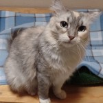Kit Kat - Domestic Short Hair