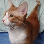 Hercules - Domestic Short Hair / Tabby