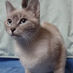Celeste - Domestic Short Hair / Siamese