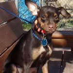 Coco Chanel - Miniature Pinscher [Mix]