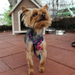 Sheldon - Yorkshire Terrier Yorkie