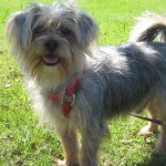 Nugget - Silky Terrier