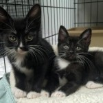 Jayden & Jubilee - Domestic Short Hair