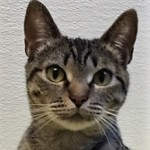 Willow - Domestic Short Hair