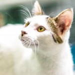 Remi - Turkish Van