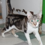 Gina - Domestic Short Hair / Tabby