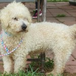 Gus Gus - Poodle (Miniature)