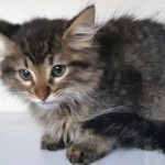 Crispy - Domestic Long Hair / Maine Coon [Mix]