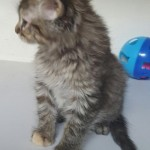 Candy - Domestic Long Hair / Maine Coon [Mix]