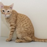 Twinkie - Domestic Short Hair